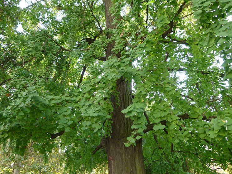 pianta di ginko