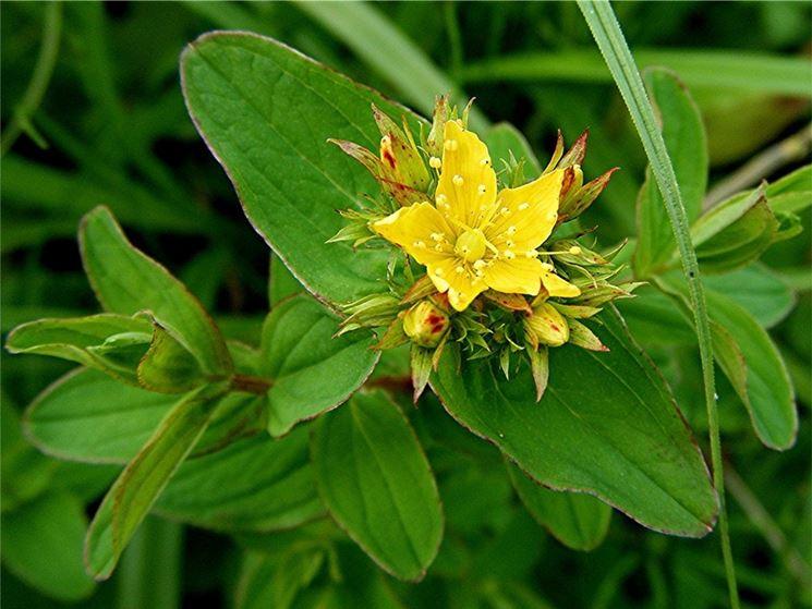 pianta di iperico