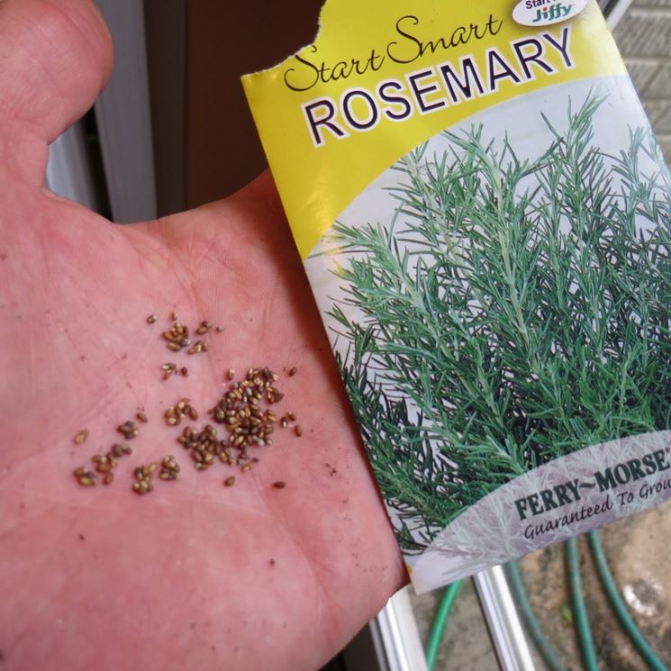 Manciata di semi di Rosmarino