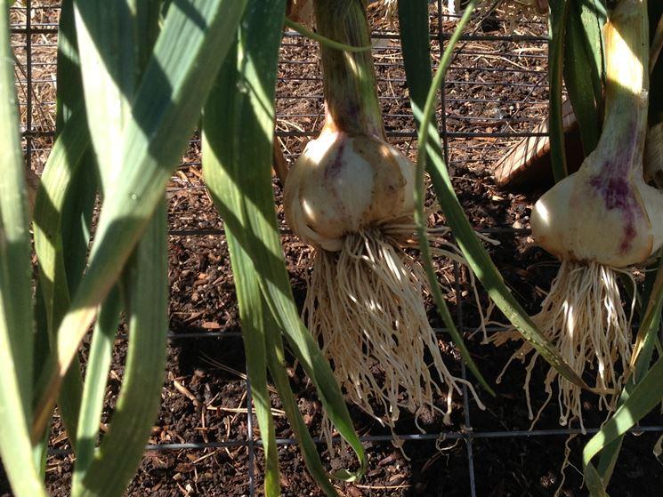 pre-essicazione dell'aglio