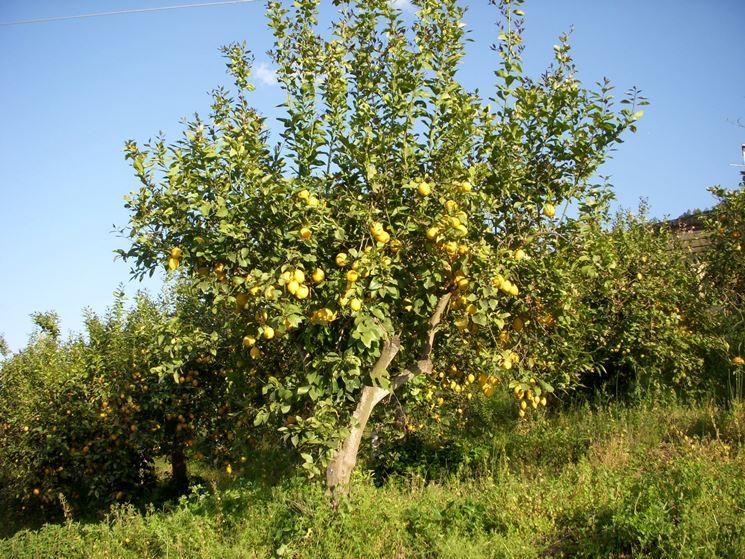 coltivazione limoni