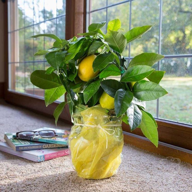 Limone citrus limon citrus limon aromatiche limone for Limoni in vaso