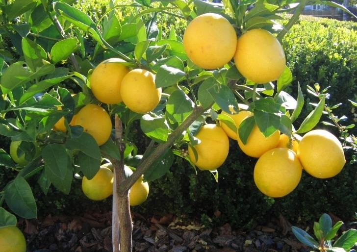 coltivazione limoni domande e risposte orto e frutta