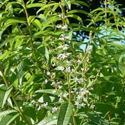 lippia citriodora