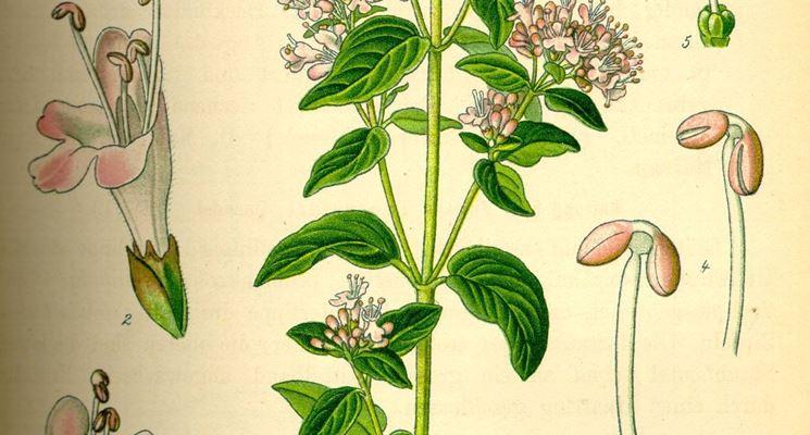 Illustrazione della pianta di origano in un erbolario.