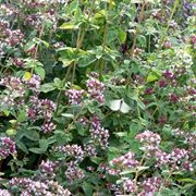 origanum vulgare