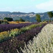 piante aromatiche perenni