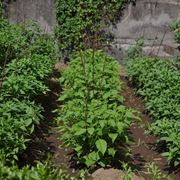 peperoncini varietà