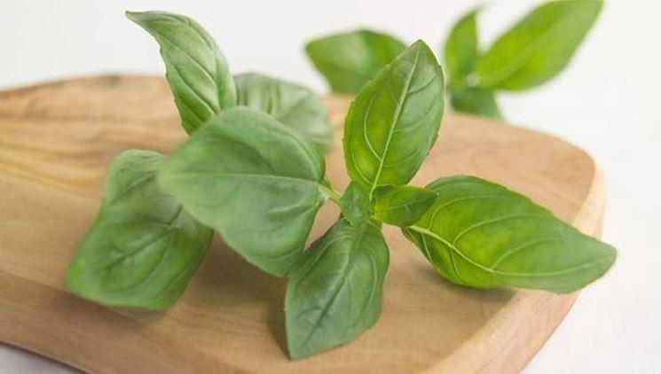 Pianta di basilico a foglie piccole