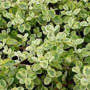 pianta di liquirizia
