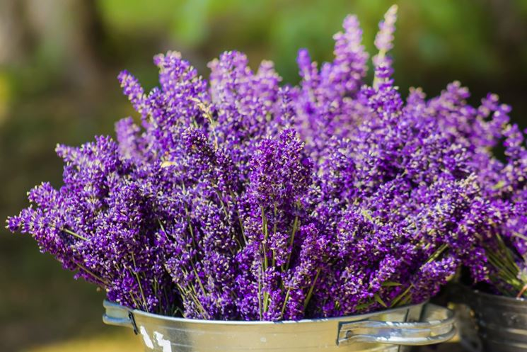 Pianta lavanda aromatiche pianta della lavanda for Pianta lavanda in vaso