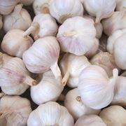 pianta aglio