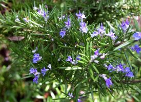 Rosmarino  -  Rosmarinus officinalis