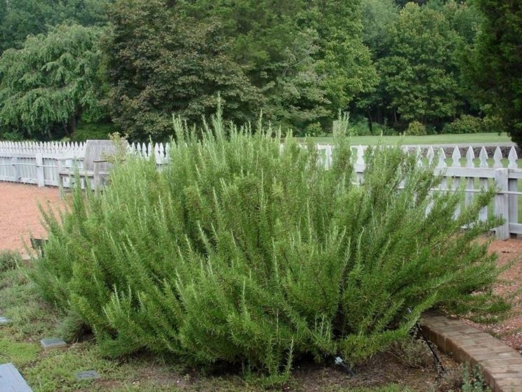 100 semi di rosmarinus Officinalis Rosmarinus Officinalis rosmarino piante da giardino