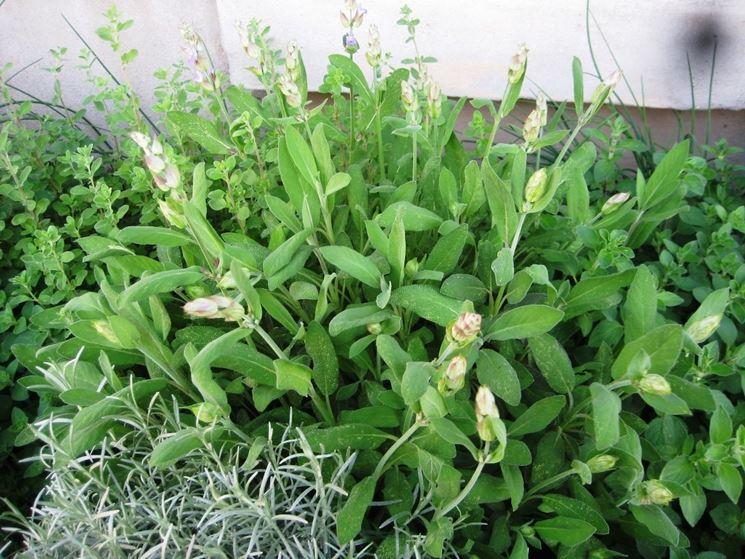 Salvia tra le erbe aromatiche