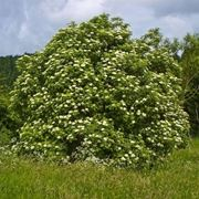 pianta di sambuco