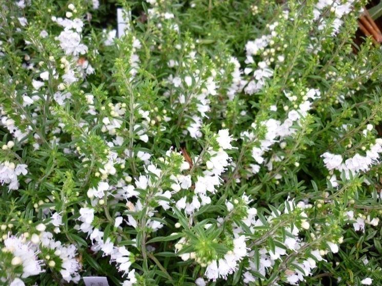 Santoreggia satureja hortensis satureja hortensis aromatiche