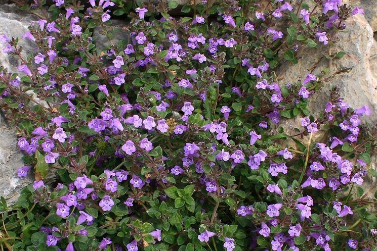 Germogli piante aromatiche