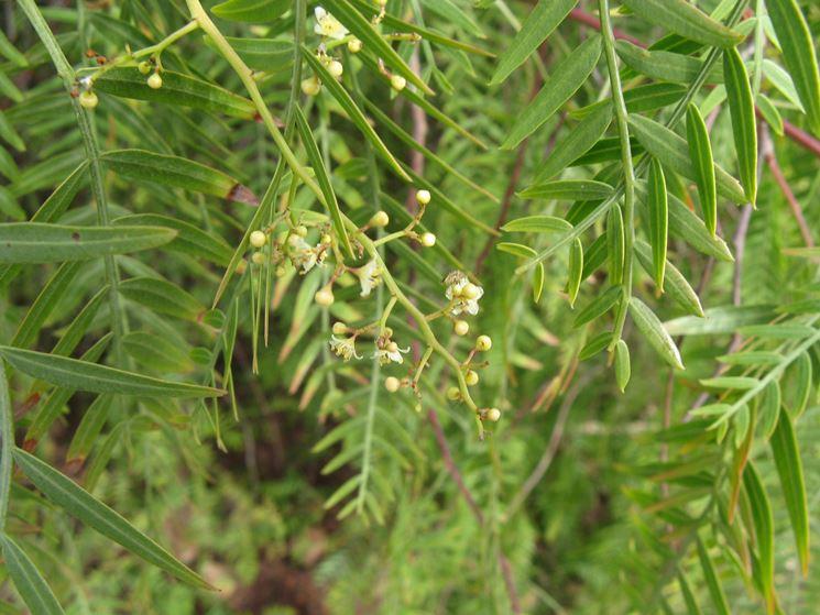 Fiori pianta falso pepe