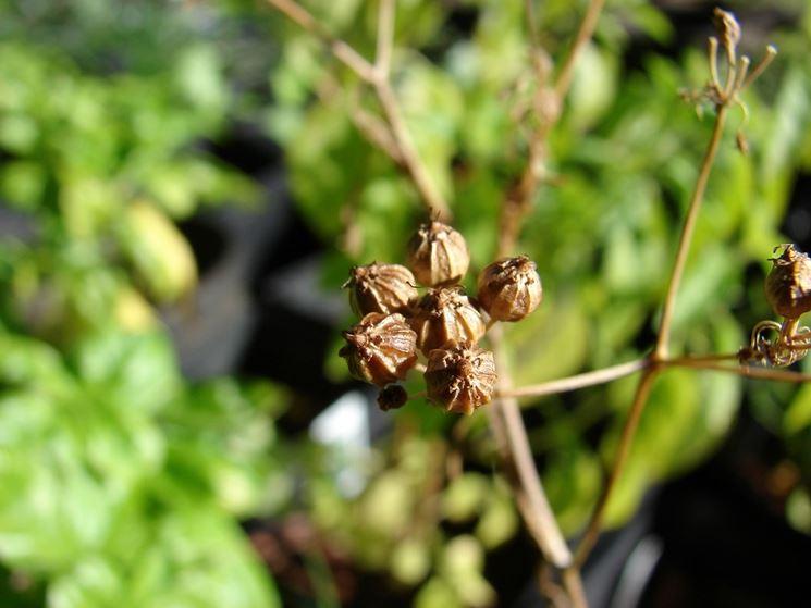La pianta del coriandolo