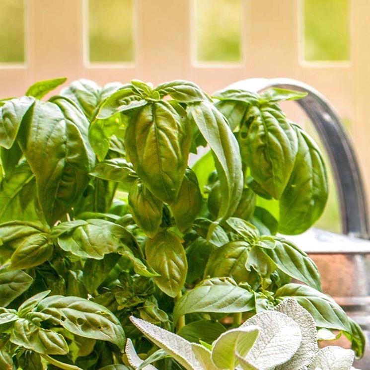Seminare il basilico e conservarne una pianta anche in inverno