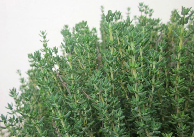 pianta di timo matura