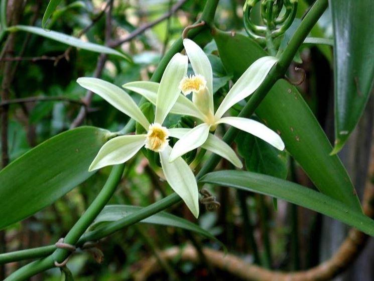 I fiori della vaniglia