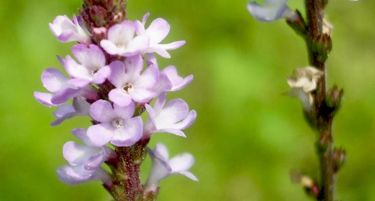 fiore verbena
