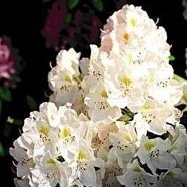 Azalea sofferente domande e risposte giardino azalea - Azalee da esterno ...