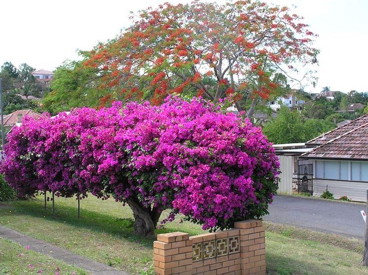 Bugainvillea domande e risposte giardino bugainvillea for Bouganville fioritura