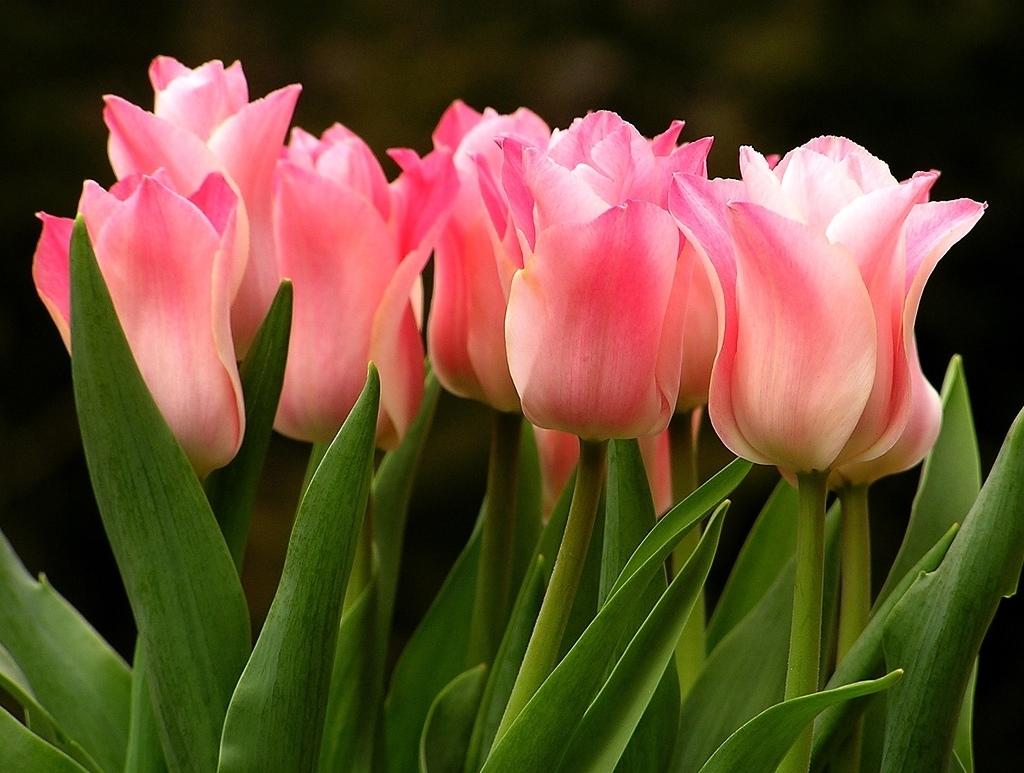 Come Si Piantano I Tulipani semina tulipano - domande e risposte giardino - semina