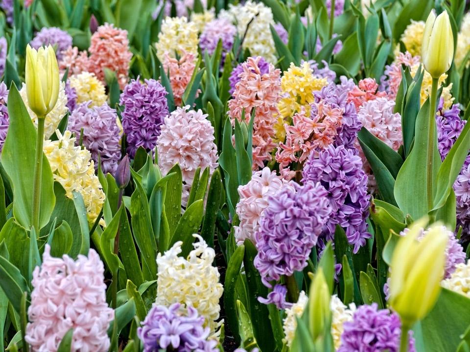 Bulbi da fiore bulbi - Bulbi estivi quando piantarli ...