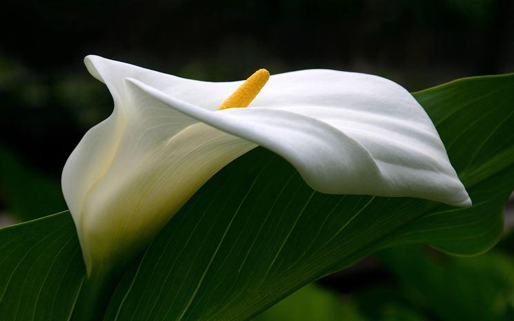 Foglia e fiore della calla