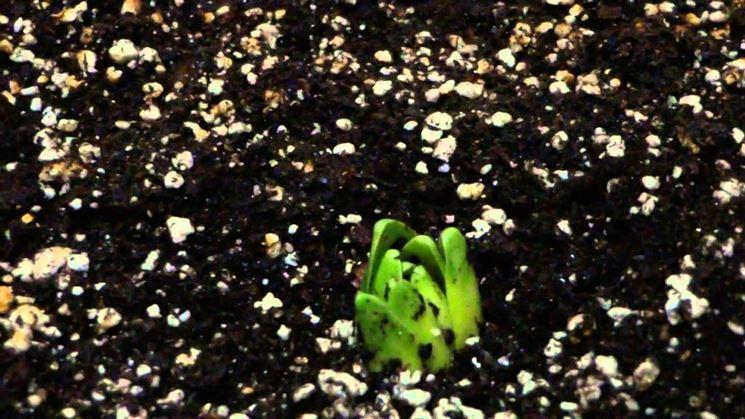germoglio di tulipano