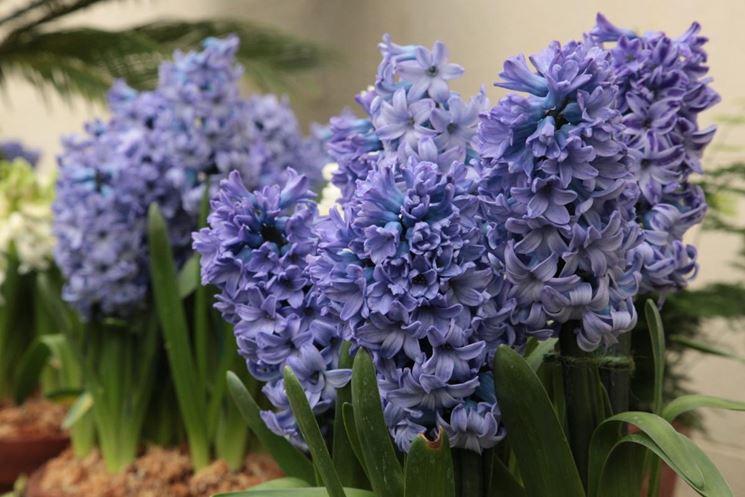 fiori da bulbo bulbi piante bulbose