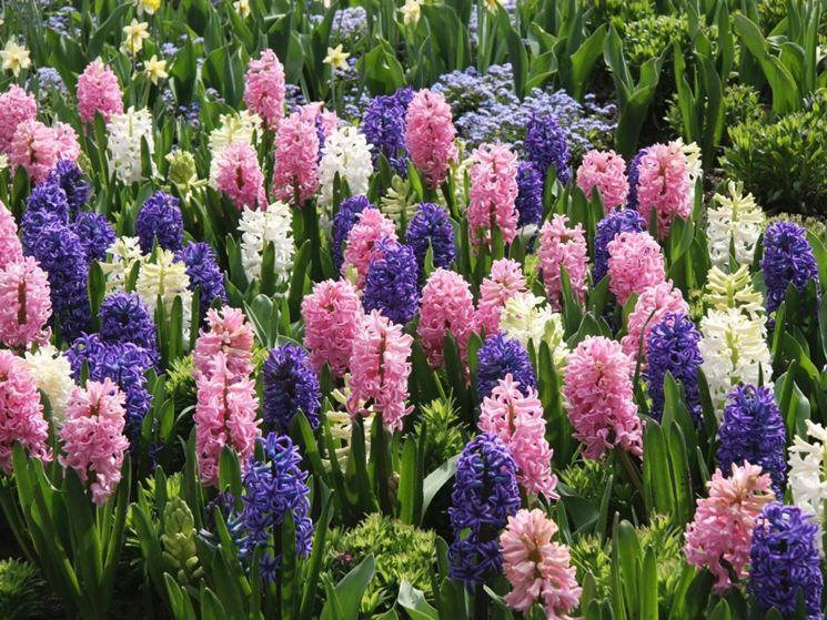fiori di giacinto