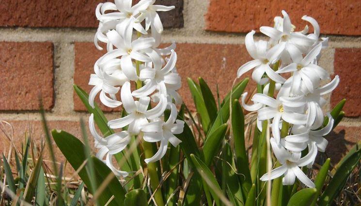Fiori bianchi di giacinto