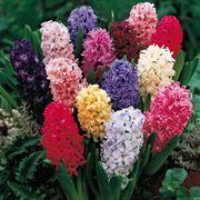 fiore giacinto