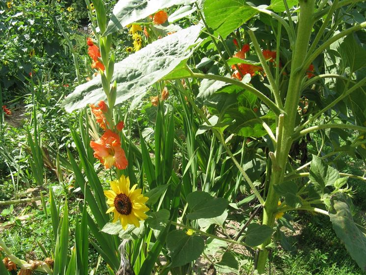 Aiuola gladioli