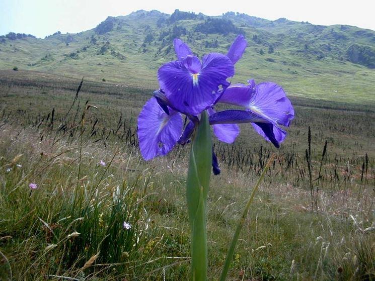 Iris latifolia