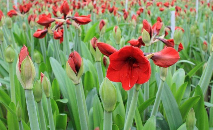 Distesa di amaryllis rossi.