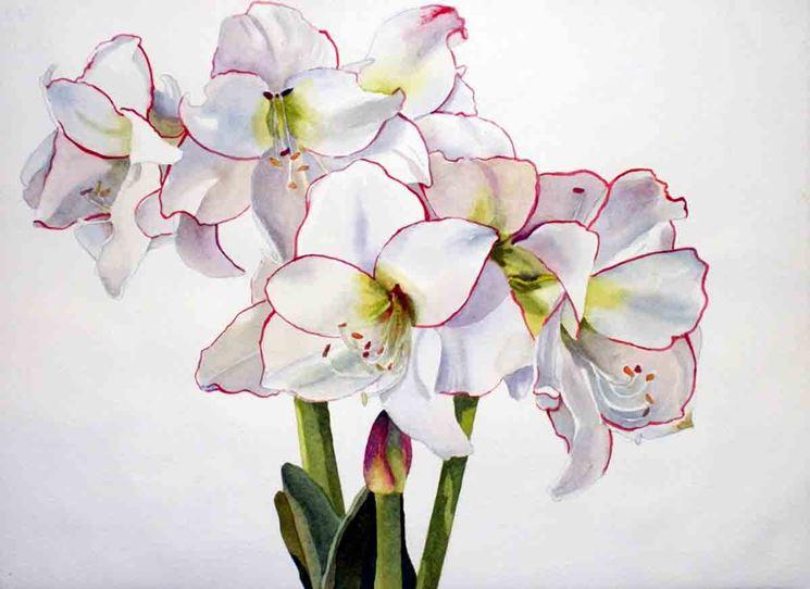 Amaryllis bianco.