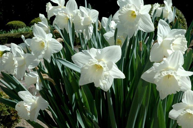 Piante di narciso in fiore