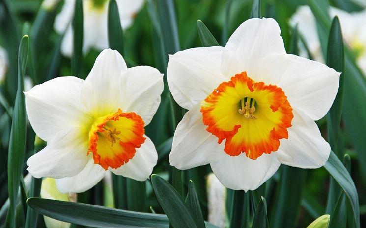 narciso fiori