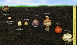 Piantare bulbi bulbi - Bulbi estivi quando piantarli ...