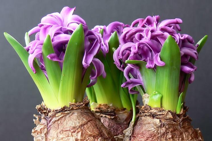 Coltivare i bulbi in casa