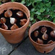 piantare bulbi tulipani