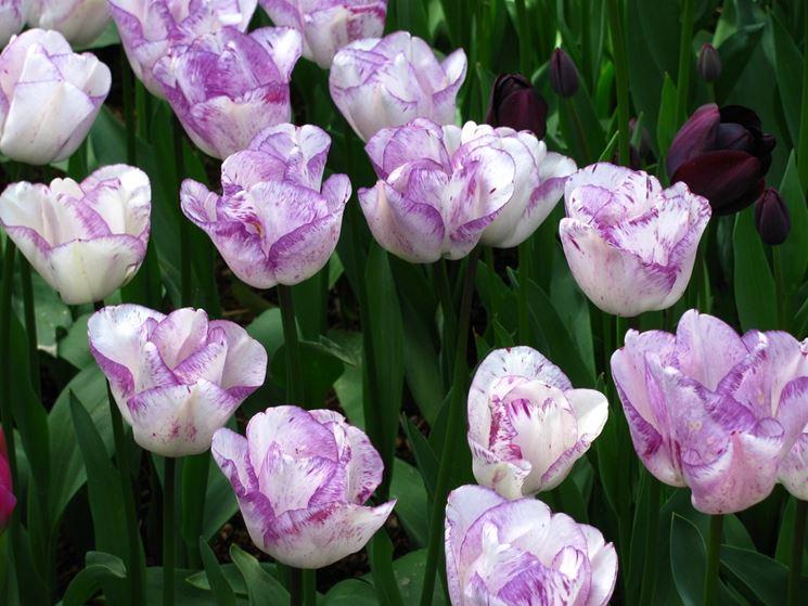 tulipani Magier