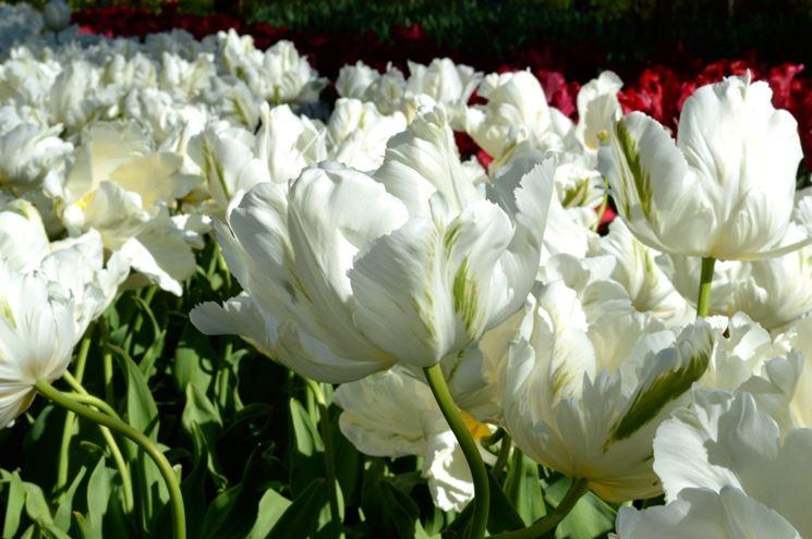 tulipani white parrot