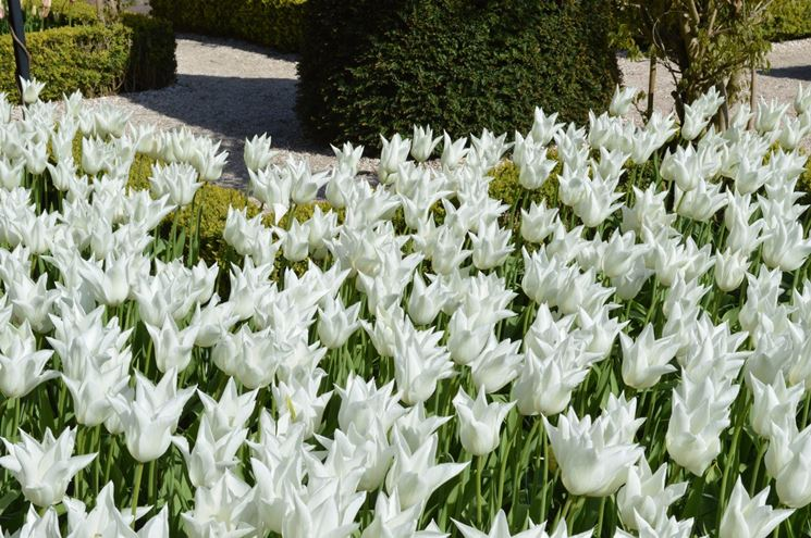 tulipani White triumphator